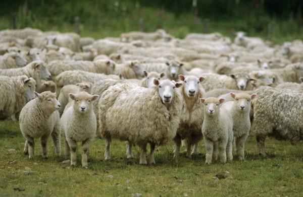 Судебные приставы Башкирии арестовали отару овец у должника