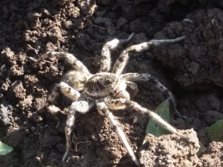 тарантулы в Башкирии